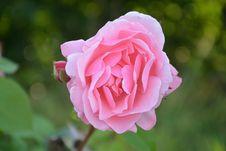 Free Flower, Rose, Rose Family, Pink Stock Photos - 100245443