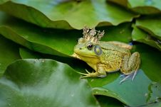 Free Ranidae, Frog, Amphibian, Fauna Royalty Free Stock Photography - 100245607