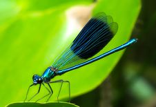 Free Damselfly, Insect, Dragonflies And Damseflies, Dragonfly Stock Image - 100245671