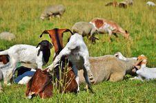 Free Herd, Pasture, Grazing, Fauna Stock Images - 100249714