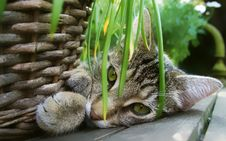 Free Cat, Small To Medium Sized Cats, Fauna, Tabby Cat Royalty Free Stock Image - 100250126