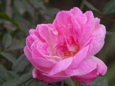 Free Flower, Rose, Rose Family, Pink Stock Photo - 100250270