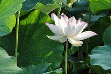 Free Flower, Plant, Sacred Lotus, Lotus Stock Photos - 100250333