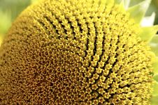 Free Sunflower, Sunflower Seed, Flower, Pollen Stock Image - 100250571