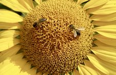 Free Sunflower, Flower, Honey Bee, Bee Royalty Free Stock Photos - 100250618