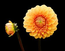 Free Flower, Flowering Plant, Yellow, Dahlia Royalty Free Stock Image - 100254766