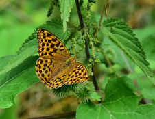 Free Butterfly, Moths And Butterflies, Insect, Brush Footed Butterfly Royalty Free Stock Image - 100255396