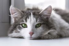 Free Cat, Whiskers, Small To Medium Sized Cats, Fauna Stock Images - 100261114