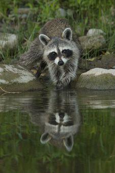 Free Raccoon, Procyonidae, Mammal, Fauna Royalty Free Stock Images - 100262439