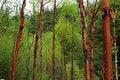 Free Red Birches Stock Photos - 10033583