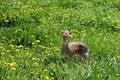 Free Gazelle Stock Photos - 10036473