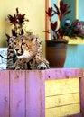 Free Cheetah Royalty Free Stock Image - 10036976