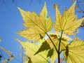 Free New Maple Leaves In The Sun Stock Photos - 10038853