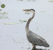 Free Great Blue Heron (Ardea Herodias) Royalty Free Stock Photo - 10031105