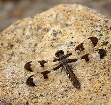 Free Common Whitetail Dragonfly (Plathemis Lydia) Stock Photos - 10031133