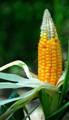 Free Corn On The Cob Royalty Free Stock Image - 10031316
