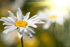 Beautiful Daisy Stock Photos