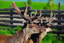 Free Wild Maral Royalty Free Stock Image - 10031906