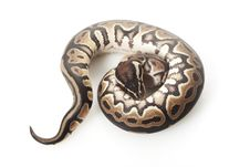 Free Ball Python Stock Photography - 10031922