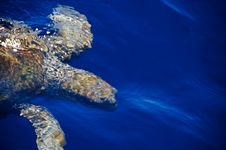 Free Sea Turtle - Close Royalty Free Stock Photo - 10032455
