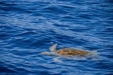 Free Sea Turtle Stock Image - 10032521