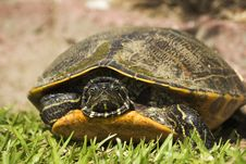 Free River Turtle Peeking Out Stock Photography - 10032762