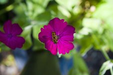 Free A Wasp On A Pink Flower Royalty Free Stock Image - 10032806