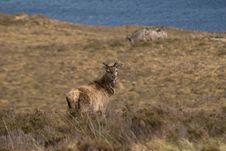 Free Red Deer Scotland Stock Photos - 10033213