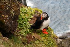Free Atlantic Puffin Royalty Free Stock Photography - 10033277