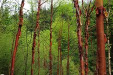 Free Red Birches Stock Photos - 10033583