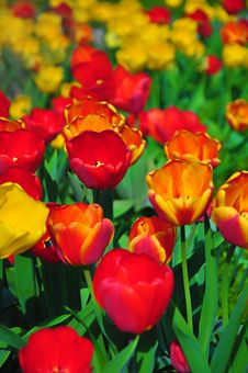 Flowered Tulips Royalty Free Stock Photography