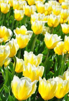 Free Flowered Tulips Royalty Free Stock Image - 10033606