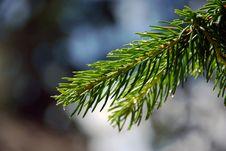Free Pine Stock Photo - 10034080