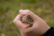 Frog In The Hand Royalty Free Stock Images