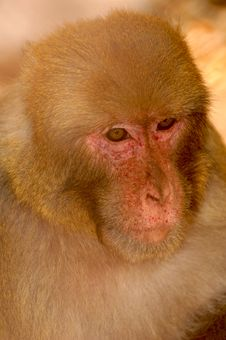 Free Portrait Of Monkey Royalty Free Stock Image - 10034826