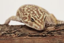 Free Leopard Gecko On A Wood Log Royalty Free Stock Image - 10034846
