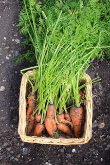 Carrot Harvest Stock Photography