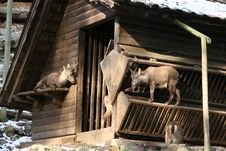 Free Goats And A Cabin Stock Image - 10035221