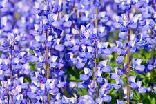 Free Lupines Stock Images - 10035324