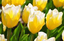Free Flowered Tulips Stock Photo - 10035690
