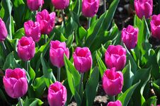 Free Flowered Purple Tulips Royalty Free Stock Photos - 10035698