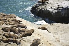 Free Seals Resting At The Shore Stock Photography - 10036212