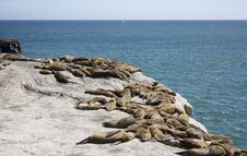 Seals Resting On The Rocks Stock Photography