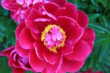 Free Dark Pink Peony Royalty Free Stock Images - 10036269