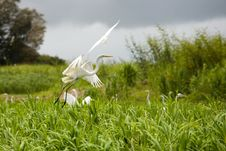 Free Egrets Stock Image - 10036801