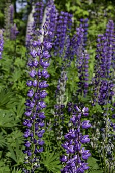 Free Purple Lupines Royalty Free Stock Photo - 10036905