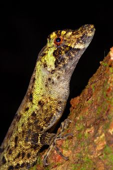 Free Anole Lizard Stock Photos - 10037013