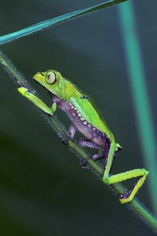 Free Tree Frog Climbs Grass Royalty Free Stock Photography - 10037077