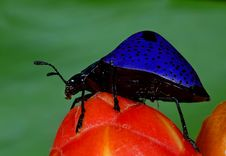 Free Pleasing Fungus Beetle Stock Image - 10037161