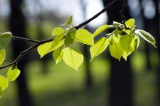 Free Fresh Green Leaves Royalty Free Stock Images - 10037209